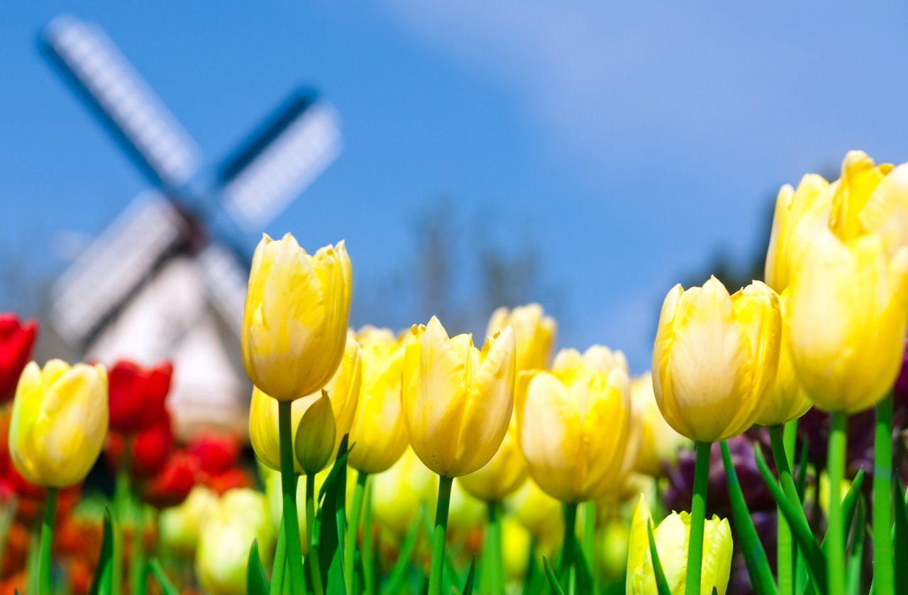 Tulips and windmill. Photo credit: Moe Cage