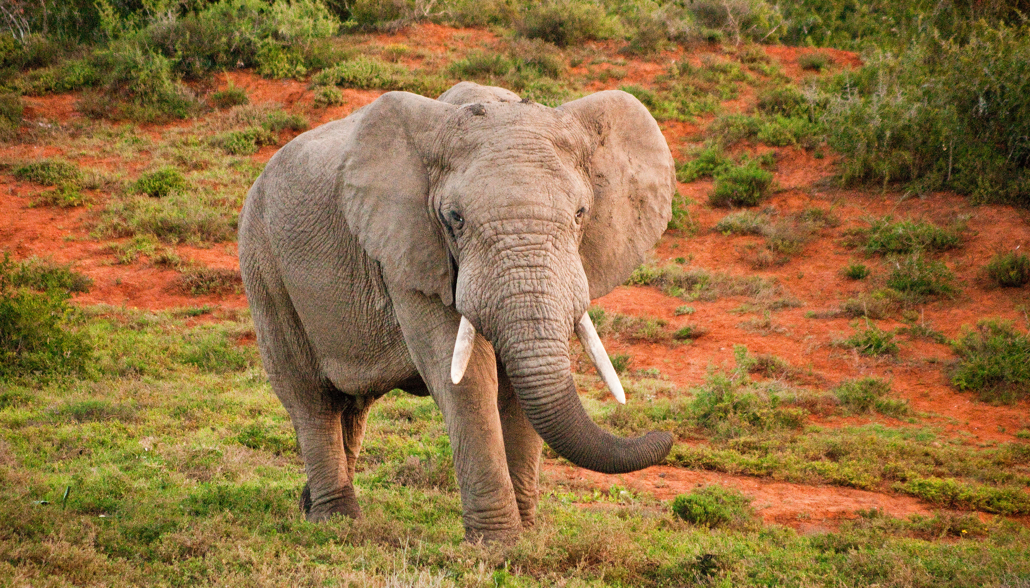 Elephant at the Amakhala Game Reserve. Photo credit: John Hickey-Fry.