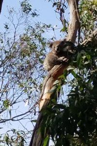 A Baby Koala